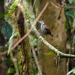 Bornean Wren- (or Ground-) Babbler (13997632799).jpg