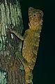 Borneo Forest Dragon (Gonocephalus bornensis) (14212693413).jpg