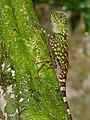 Borneo Forest Dragon (Gonocephalus bornensis) (8411481032).jpg