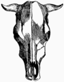 Bos longifrons—from Switerland (Evolution of British Cattle).png