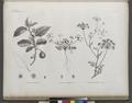 Botanique. 1. Solanum coagulans; 2. Caucalis glabra, var. minor; 3. Caucalis glabra, var. major (NYPL b14212718-1268655).tiff