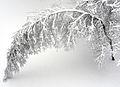 Bouleau plié sous la neige.jpg