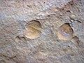 Brachiopod fossils in sandstone (Byer Sandstone, Lower Mississippian; west of Toboso, Ohio, USA) 6 (31117109325).jpg