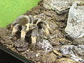 Brachypelma emilia 20100219w.JPG