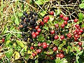 Brambles and haws - geograph.org.uk - 564486.jpg