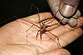 Brazil cave arachnid.JPG