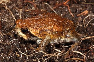 Bilbos rain frog Species of amphibian