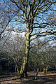 Bridleway tree at Gernon Bushes Nature Reserve, Coopersale Essex England.jpg