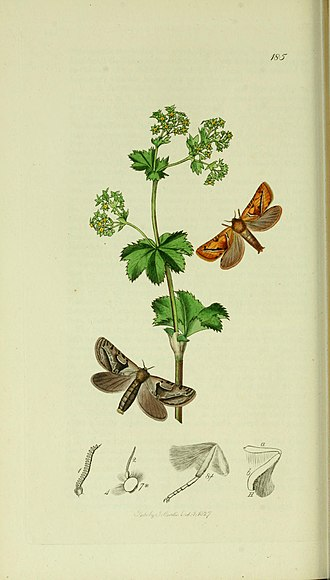 Orange swift - Illustration from John Curtis's British Entomology Volume 5