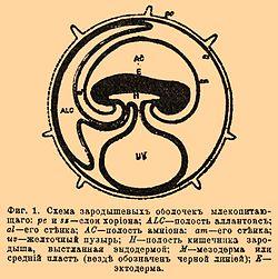 1. Схема зародышевых оболочек млекопитающего: ре и ss - слои хориона; ALC - полость аллантоис; ai - его стенка; ас...