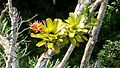 Bromeliads in the treetops - Flickr - gailhampshire.jpg