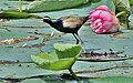 Bronze-winged Jacana (Metopidius indicus) in a Lotus Pond in Kolkata I IMG 7504.jpg