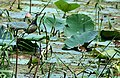 Bronzed winged Jacana (adult) with juveniles I2 IMG 2572.jpg