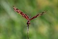 Brown-spotted Yellow-wing dragonfly.JPG