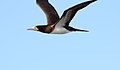 Brown Booby (Sula leucogaster) (11118140253).jpg