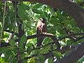 Brown Hawk Owl - Ninox scutulata - P1030501.jpg