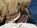 Brown Pelican - Pelecanus occidentalis californicus.jpg