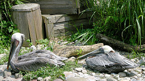 Description de l'image Image:Brown Pelican Pelecanus occidentalis Resting 3188px.jpg.