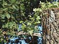 Bryonia dioica 20110726.jpg