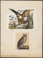 Bubo maximus - 1700-1880 - Print - Iconographia Zoologica - Special Collections University of Amsterdam - UBA01 IZ18400075.tif