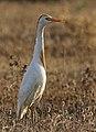 Bubulcus ibis - Western Cattle Egret 24.jpg