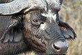Buffalo, Kruger National Park, South Africa (14964452186).jpg