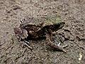 Bufo bufo (Bufonidae) - (adult), Elst (Gld), the Netherlands.jpg
