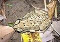 Bufo melanostictus Thailand.jpg