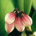 Bulbophyllum-lepidum.jpg