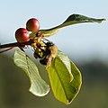Bumble Bee (Bombus sp.) on Alder Buckthorn (Frangula alnus) - Oslo, Norway 2020-08-27.jpg