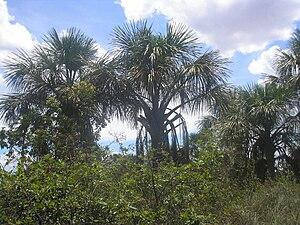 Mauritia flexuosa - Image: Buritis em Veredas