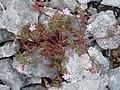 Burren Flora 05 Herb Robert (3585264805).jpg