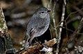 Bush Robin. (Petroica australis) (8177491891).jpg