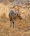 Bushbuck (Tragelaphus scriptus) male ... (50228710727).jpg