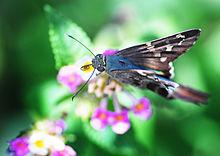 Butterfly resting on Lantana camara