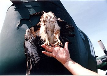 A hawk stuck in the nosecone of a C-130