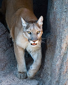 brand new 35e76 47073 Cougar (Puma concolor)