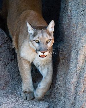 Puma (genus) - Cougar (Puma concolor)