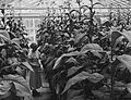 CSIRO ScienceImage 2392 Tobacco Plants in Glasshouses.jpg