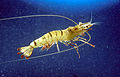 CSIRO ScienceImage 2992 The Giant Tiger Prawn.jpg