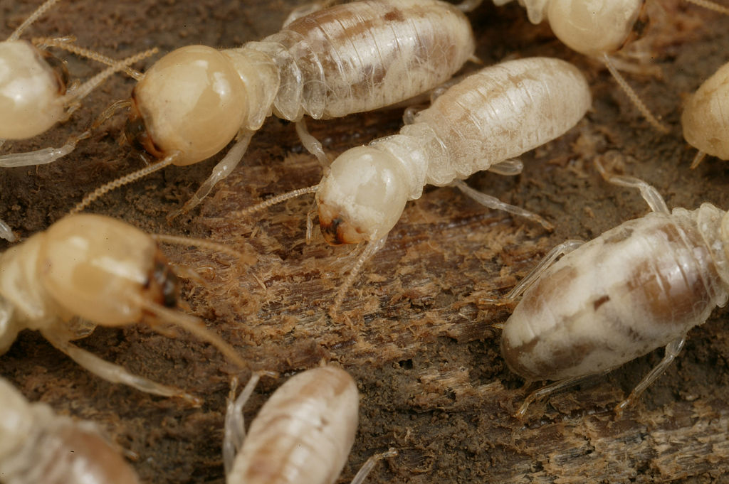 Image result for termite