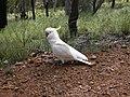 Cacatua galerita -Black Mountain, Australian Capital Territory, Australia-8.jpg
