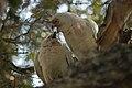 Cacatua tenuirostris -Sydney-8b.jpg