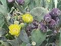 Cactus flower - panoramio.jpg
