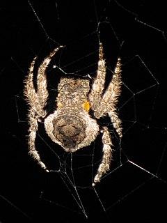 <i>Caerostris</i> genus of arachnids
