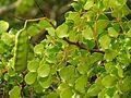 Caesalpinia in Celestún Estuary - Flickr - treegrow (7).jpg