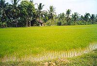 Cánh đồng lúa ở Cái Mơn - Bến Tre