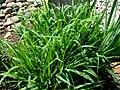 Calamagrostis insperata.jpg