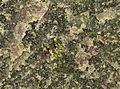 Calaverite in fluorite vein (Cripple Creek Diatreme, Early Oligocene, 32 Ma; Cripple Creek Mining District, Colorado, USA) 1 (18758318553).jpg