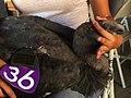 California condor -636. (36613335025).jpg